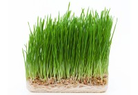 Superalimento Wheatgrass
